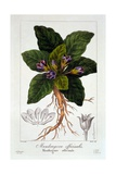 Mandragora Officinarum, 1836 Giclee Print by Pancrace Bessa