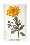 Calenudla Officinalis, or Pot Marigold, 1836 Giclee Print by Pancrace Bessa