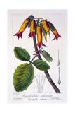 Bryophyllum Calycinum, or Kalanchoe Pinnata, 1836 Giclee Print by Pancrace Bessa