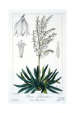Yucca Filamentosa, 1836 Giclee Print by Pancrace Bessa