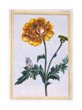Double Creeping Buttercup, Ranunculus Repens Var: Pleniflorus, C.1776 Giclee Print by Pierre-Joseph Buchoz