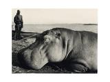 Hippopotamus, 1920s Giclee Print