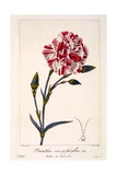 Dianthus Caryophyllus, 1836 Giclee Print by Pancrace Bessa