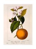 Sweet Orange: Citrus Sinensis Var. Bigaradia Violacea, 1836 Giclee Print by Pancrace Bessa