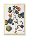 La Capucine (Nasturtium), C.1776 Giclee Print by Pierre-Joseph Buchoz