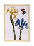 Yellow and Violet Irises, C.1776 Giclee Print by Pierre-Joseph Buchoz