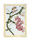 Le Grand Lathyre (Everlasting Sweet Pea), C.1776 Giclee Print by Pierre-Joseph Buchoz