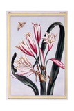 Long Leaved Amaryllis, C.1776 Giclee Print by Pierre-Joseph Buchoz