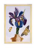 Common Iris with Butterflies, C.1776 Giclee Print by Pierre-Joseph Buchoz