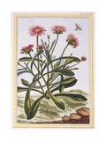 La Ficode D'Afrique or Mesembryanthemum, C.1776 Giclee Print by Pierre-Joseph Buchoz