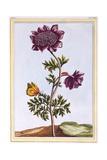 Garden Anenome (Windflower), C.1776 Giclee Print by Pierre-Joseph Buchoz