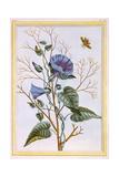 Le Grand Liseron Violet (Convovlus), C.1776 Giclee Print by Pierre-Joseph Buchoz