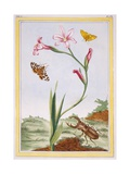 L'Ixia (Flesh-Coloured Ixia) and Stag Beetle, C.1776 Giclee Print by Pierre-Joseph Buchoz