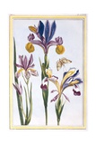 Variegated Iris, C.1776 Giclee Print by Pierre-Joseph Buchoz