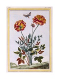 A Variety of Double Flowered Yellow Poppy, C.1776 Giclee Print by Pierre-Joseph Buchoz