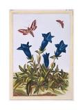 Blue Gentian (Trumpet Flower), C.1776 Giclee Print by Pierre-Joseph Buchoz