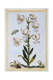 Turkscap Lily Prob L. Martagan, Var: Album, C.1776 Giclee Print by Pierre-Joseph Buchoz