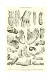 Hands and Feet of Apes and Monkeys Giclee Print