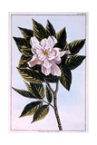 Gardenia G. Augusta, Illustration from 'Collection Precieuse Et Enluminee Des Floura' Part II, by… Giclee Print by Pierre-Joseph Buchoz