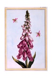 Foxglove Digitalis, Illustration from 'Collection Precieuse Et Enluminee Des Floura' Part II, by… Giclee Print by Pierre-Joseph Buchoz