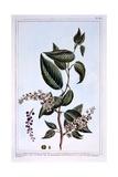 "Prunus Padus or ""Bird Cherry"", Illustration from 'Collection Precieuse Et Enluminee Des Floura',… Giclee Print by Pierre-Joseph Buchoz"