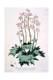 Rhubarb with Pointed Hand Shaped Leaves, Illustration from 'The British Herbalist', March 1770 Giclee Print by John Edwards
