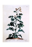 Common or Garden Feverfew, Illustration from 'The British Herbalist', March 1770 Giclee Print by John Edwards
