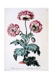 Garden Poppy with Black Seeds, Illustration from 'The British Herbalist', Published March 1770 Giclee Print by John Edwards