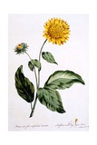 Sunflower with Large Jagged Leaves, Illustration from 'The British Herbalist', Published March 1770 Giclee Print by John Edwards