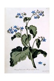 Borage with Blue Flowers, Illustration from 'The British Herbalist', March 1770 Giclee Print by John Edwards