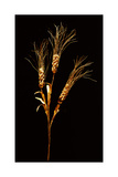 Stalk of Wheat (Triticum Compactum) Dividing into Three Stems with Ears Giclee Print