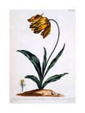 Tulip with Anoding Flower and Spear Shaped Leaves (Parrot Tulip), Illustration from 'The British… Giclee Print by John Edwards