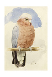 A Rose Breasted Cockatoo, C.1890 Giclee Print by Henry Stacey Marks