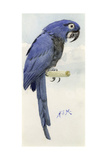 Hyacinth Macaw, C.1890 Giclee Print by Henry Stacey Marks
