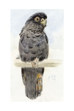 A Black Cockatoo, C.1890 Giclee Print by Henry Stacey Marks