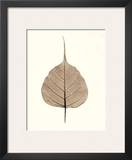 India Ficus Prints by Alan Blaustein