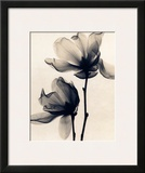 Saucer Magnolia Poster by Judith Mcmillan