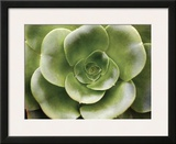 Echeveria II Prints by Andrew Levine