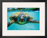 Honu, Hawaiian Sea Turtle Prints by Kirk Lee Aeder