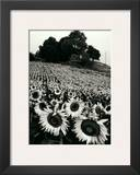 Sunflowers, Provence, France Prints by Martine Franck