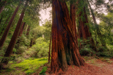 Welcome to Muir Woods 4 Lámina fotográfica por Vincent James