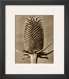 Sepia Botany Study III Framed Giclee Print by Karl Blossfeldt