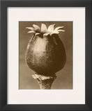 Sepia Botany Study I Framed Giclee Print by Karl Blossfeldt