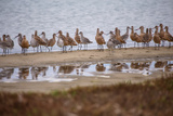 Godwit GetTogether Papier Photo par Vincent James