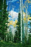 Dixie Aspens Photographic Print by Vincent James