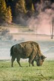 Bison Portrait Fotografisk trykk av Vincent James