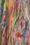 Rainbow Eucalyptus Detail, Kauai Photographic Print by Vincent James
