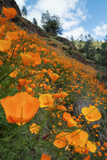 Spring Poppy Hillside, Merced Photographic Print by Vincent James