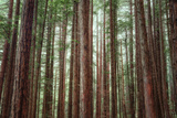 Majestic Trees, Muir Woods Photographic Print by Vincent James