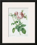 Redeoute Rosa Centifolia Foliacea Print by Pierre-Joseph Redouté